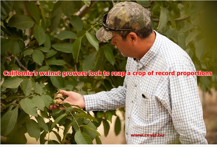 California's walnut growers look to reap a crop of record proportions