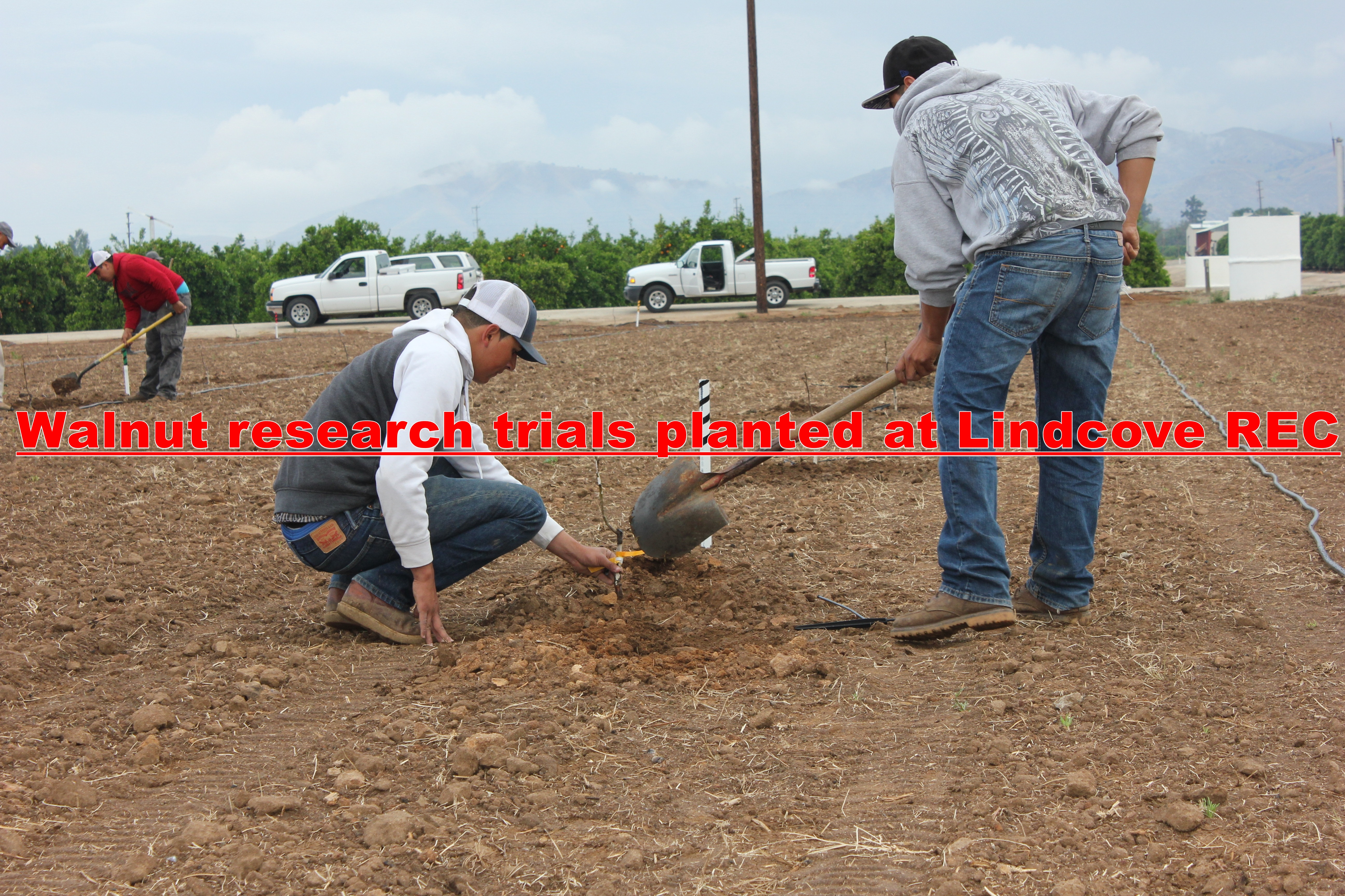 Walnut research trials planted at Lindcove REC