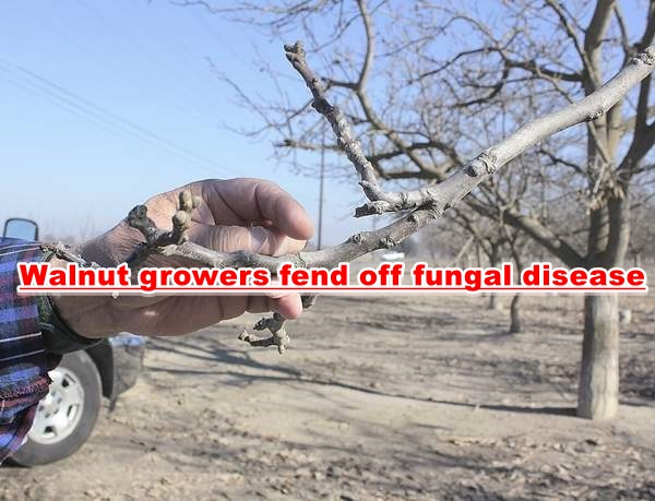 Walnut growers fend off fungal disease