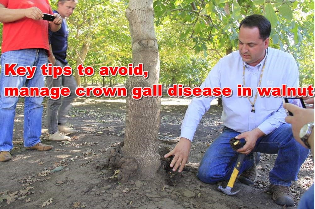 Key tips to avoid, manage crown gall disease in walnut
