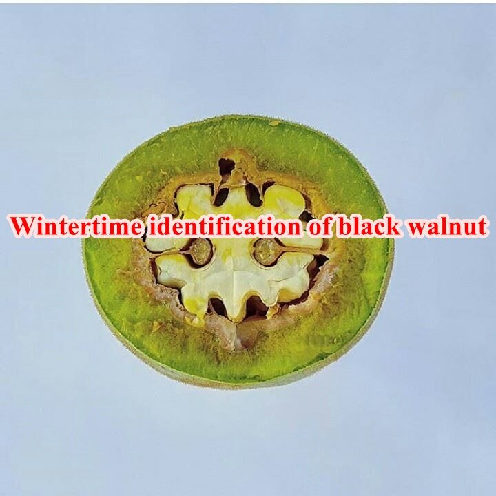Wintertime identification of black walnut