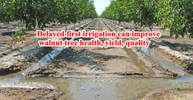 Delayed first irrigation can improve walnut tree health, yield, quality
