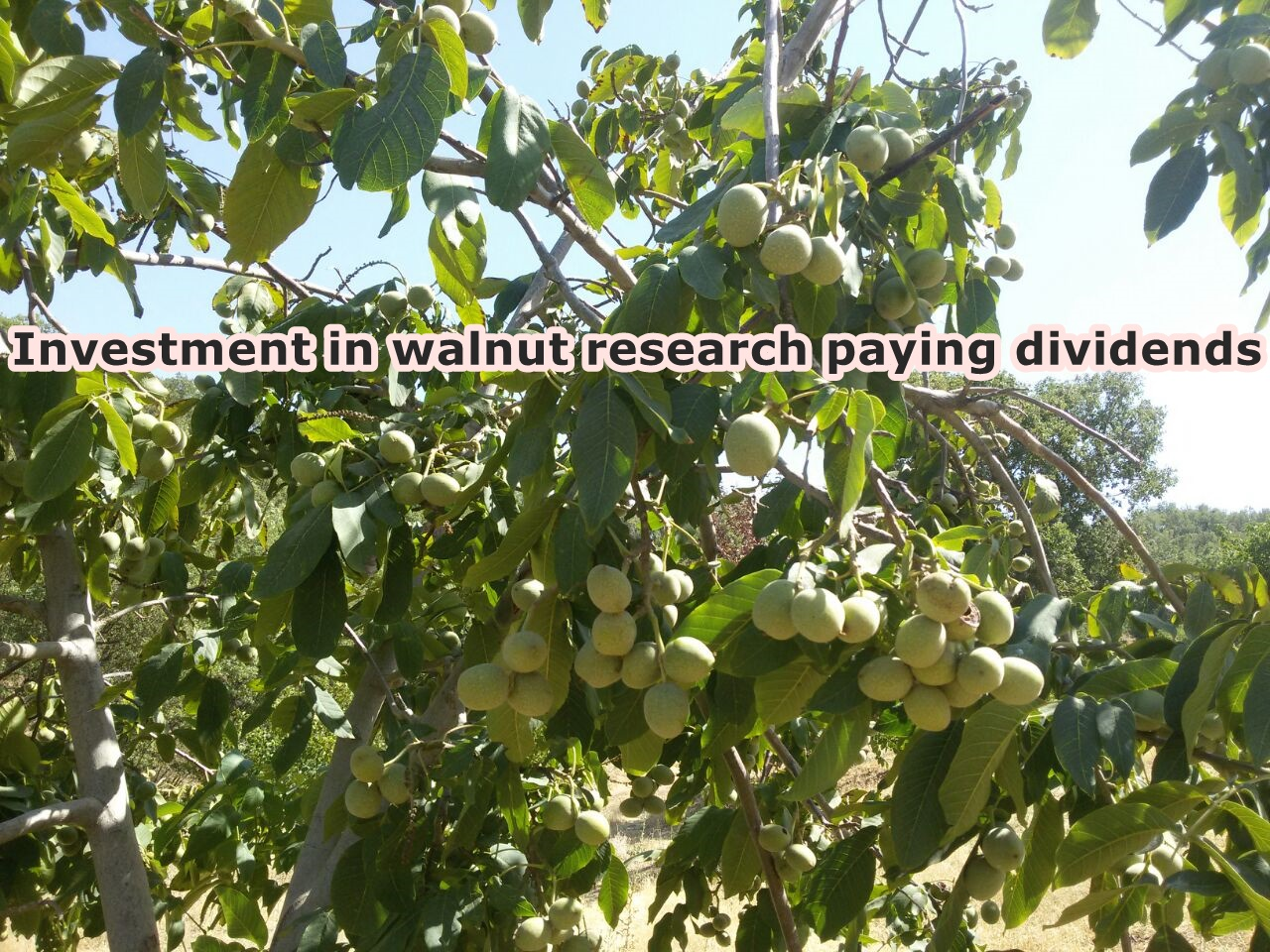 Investment in walnut research paying dividends