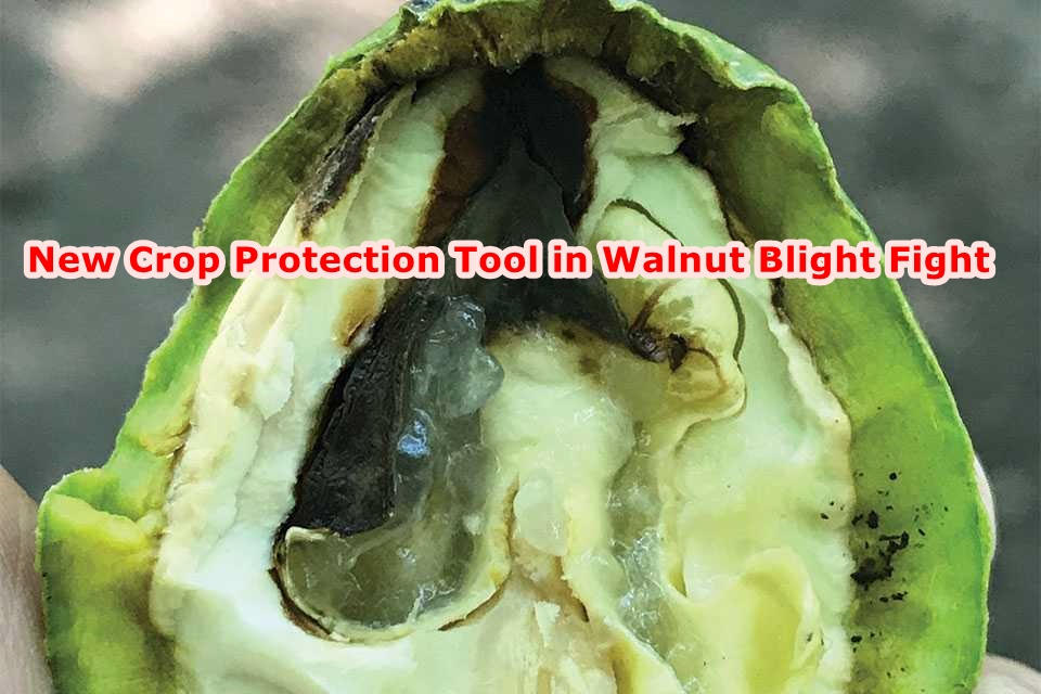 New Crop Protection Tool in Walnut Blight Fight
