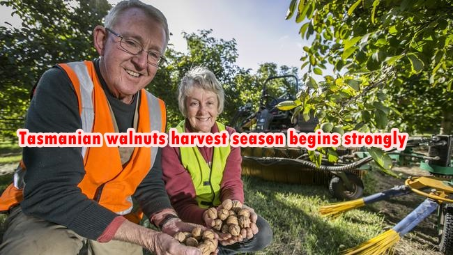 Tasmanian walnuts harvest season begins strongly