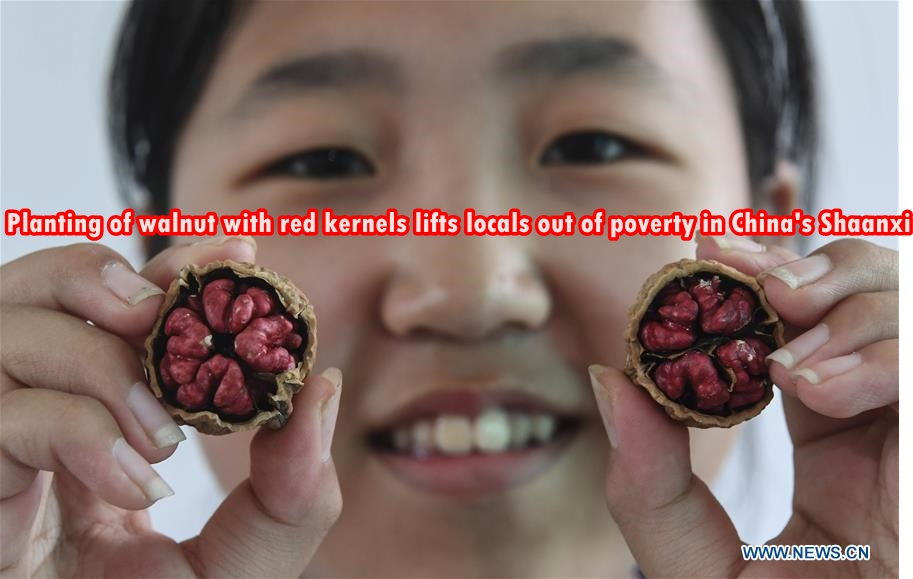 Planting of walnut with red kernels lifts locals out of poverty in China's Shaan