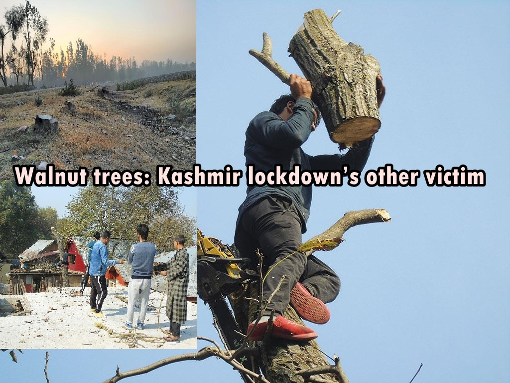 Walnut trees: Kashmir lockdown's other victim